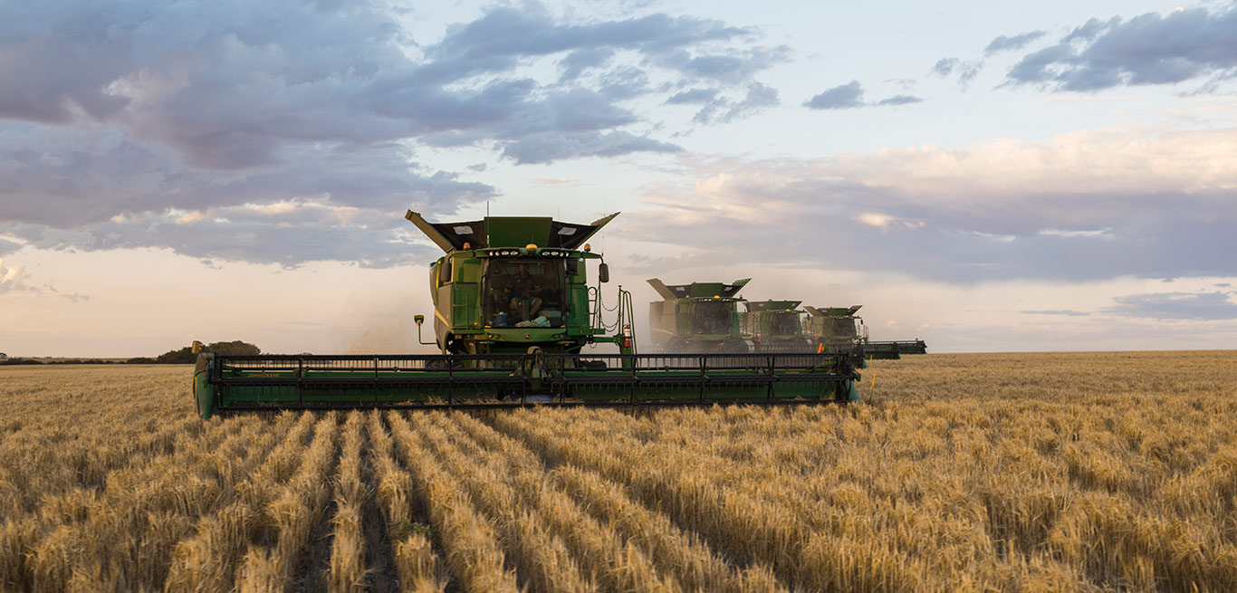 Combines harvesting wheat